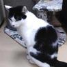 【穏やかな性格!黒白のボス猫のじゅん君】 サムネイル2