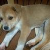 本日お見合い可  生後2か月大型犬仔犬 男の子 サムネイル5
