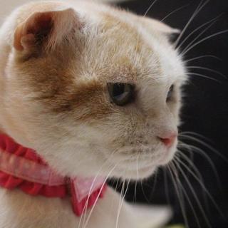 ブリーダー放棄猫スコテッシュの弥生ちゃん