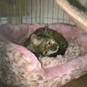 【5ヵ月】キジトラ♀ 職場にいついた猫です サムネイル2