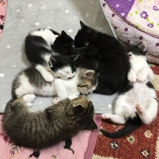 1ヶ月半の仔猫ちゃん達です<募集一旦停止します>