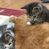 1ヶ月半の仔猫ちゃん達です<募集一旦停止します> サムネイル6