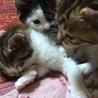 1ヶ月半の仔猫ちゃん達です<募集一旦停止します> サムネイル7