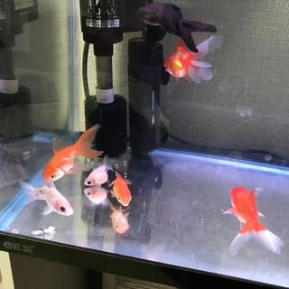 金魚9匹、コケ取り生体のラムズ3匹