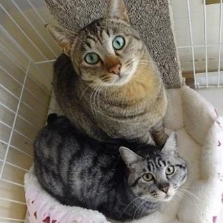 とっても仲良し☆キジトラ&サバトラ