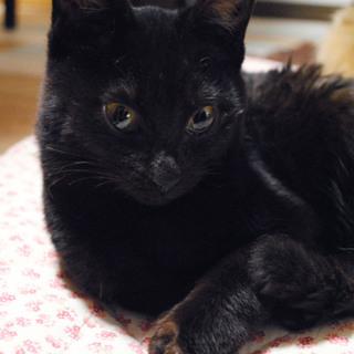 【京都府】生後推定4ヶ月、甘えん坊黒猫♂