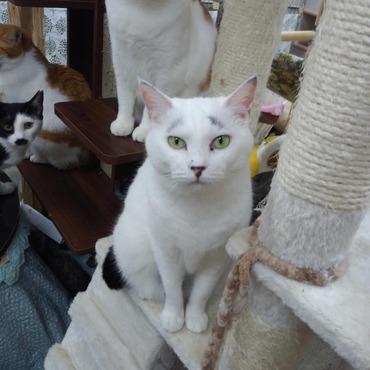 まろ眉の店員猫です!
