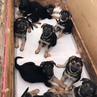 シェパード 仔犬 千葉県内在住の里親さん数名募集