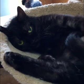 黒猫だけど中は白?珍しくて懐こいスモークちゃん