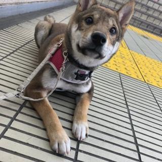 柴犬ブリーダー廃業で放棄の仔犬