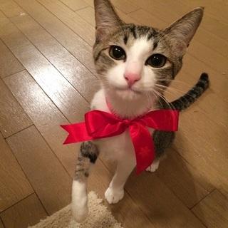 7カ月【3/24銀座猫の譲渡会】アルトちゃん