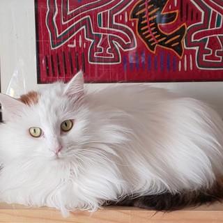 長毛白三毛の美猫ヤヤちゃん