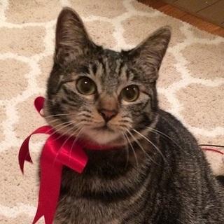 10カ月【3/24銀座猫の譲渡会】フックちゃん