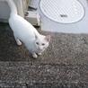 中猫のホワイトキャットです