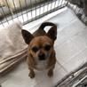 保護犬チワワ3歳