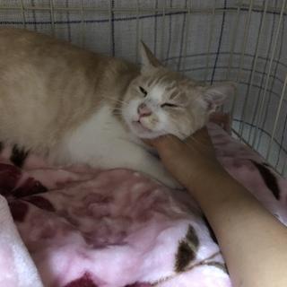 薄い茶白のメス猫さん