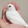 白文鳥(手乗り生後約1ヶ月雌雄不明)