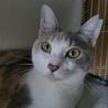 1歳位!超美猫☆パステル三毛 ミルティちゃん! サムネイル2
