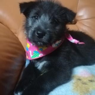 真っ黒テリア風の可愛い子犬