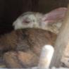 ウサギの里親募集しています。