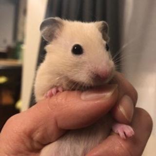 キンクマハムスターの赤ちゃん、お譲りします。