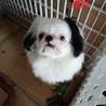 狆♂、生後11か月、まだ幼い顔つき サムネイル6