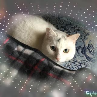オフホワイトの美猫お餅くん♪