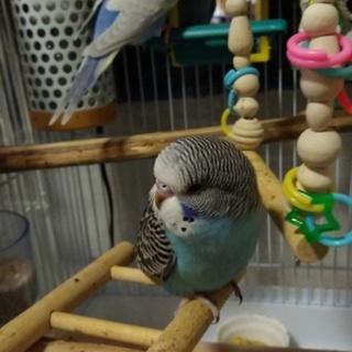 可愛いセキセイインコ雛2羽