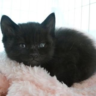 2月9日生まれの黒猫の男の子♪