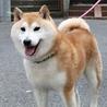 ポワ~ンとした柴犬男子