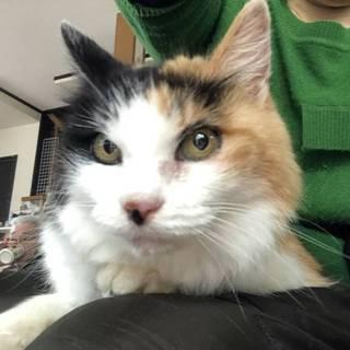 【緊急】飼い主が亡くなって捨てられた17歳の三毛猫