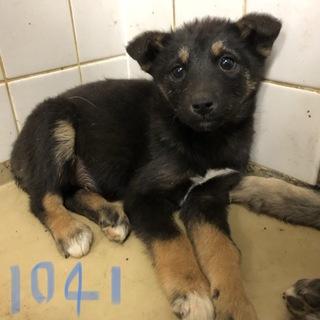 緊急です。3匹兄弟の子犬です。動画有り。1041番