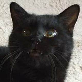 ルーチェ☆人馴れ猫慣れ抜群の黒猫ちゃん