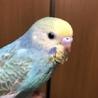 手乗りセキセイインコ 幼鳥 里親様決定しました!