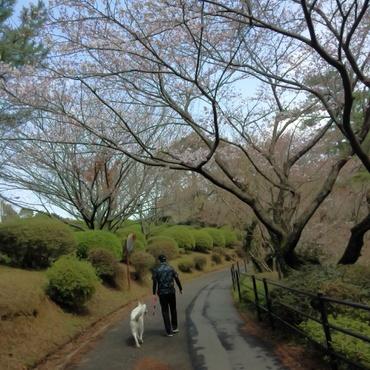 桜、8分咲き。