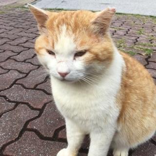 温厚なデカ猫 8キロオス