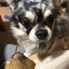 チワワ6歳甘えん坊の番犬!