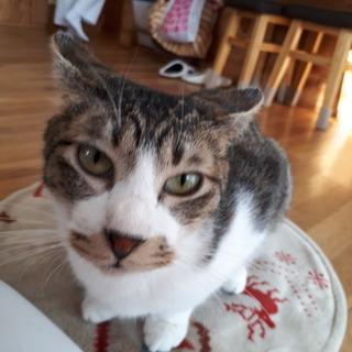 1才弱のオス猫(キジ白、イケメン、スリム)