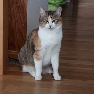 推定2〜3才の三毛白メス猫、可愛い顔してます