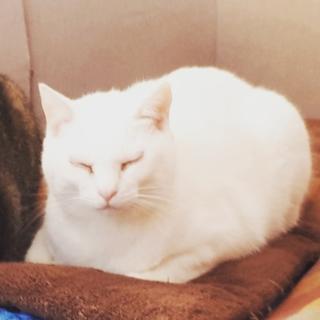 ウサギみたいな白猫(推定9才の避妊済メス)