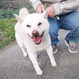 白柴犬〜かっちゃん(仮)〜甘えん坊くん