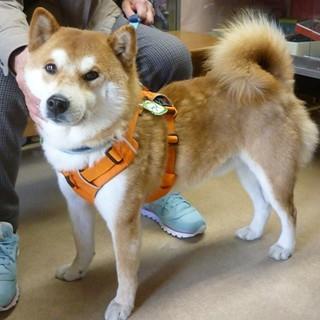 人懐っこく散歩大好きな柴犬♂3~4歳位・室内飼い