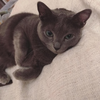 お坊ちゃん猫のロシアンブルー【血統書付き】