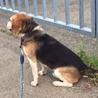 ビーグル犬(10歳)里親さま募集 サムネイル4