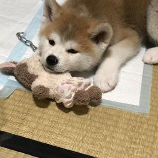 生後2ヶ月の秋田犬ちゃちゃ丸の里親募集中です!