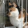 アメリカンカールmixの三毛猫せりちゃん サムネイル2