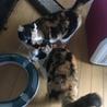 アメリカンカールmixの三毛猫せりちゃん サムネイル5
