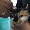 アメリカンカールmixの三毛猫せりちゃん サムネイル4