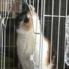 アメリカンカールmixの三毛猫せりちゃん サムネイル6