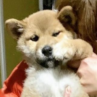 赤柴犬 オス 約3ケ月